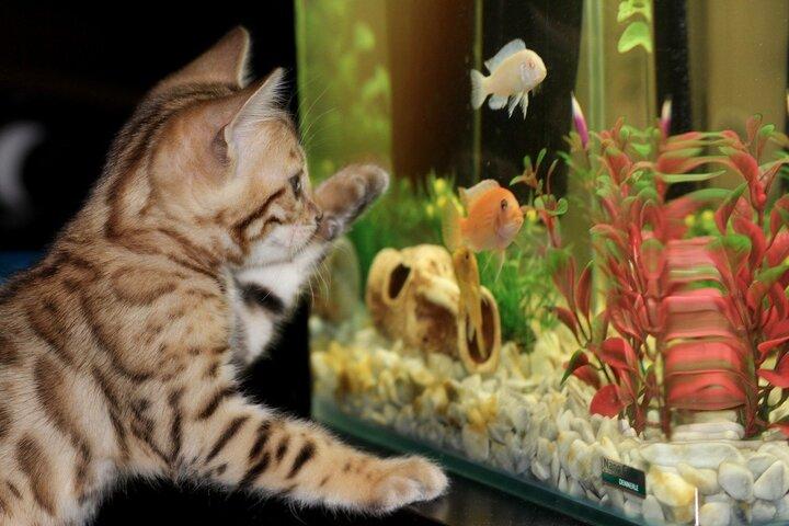 Katze vor Aquarium
